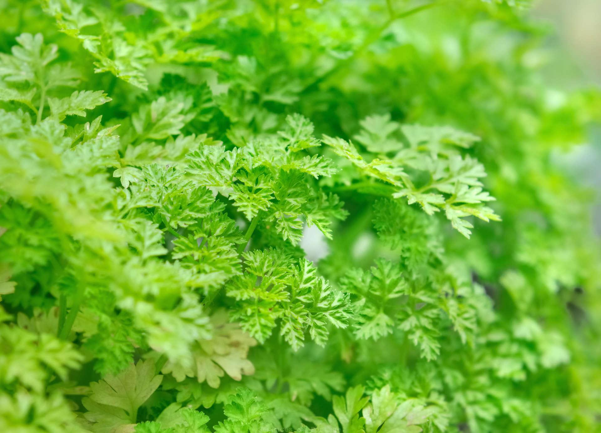 Cerfeuil semences du portage for Catalogue de plantes en ligne