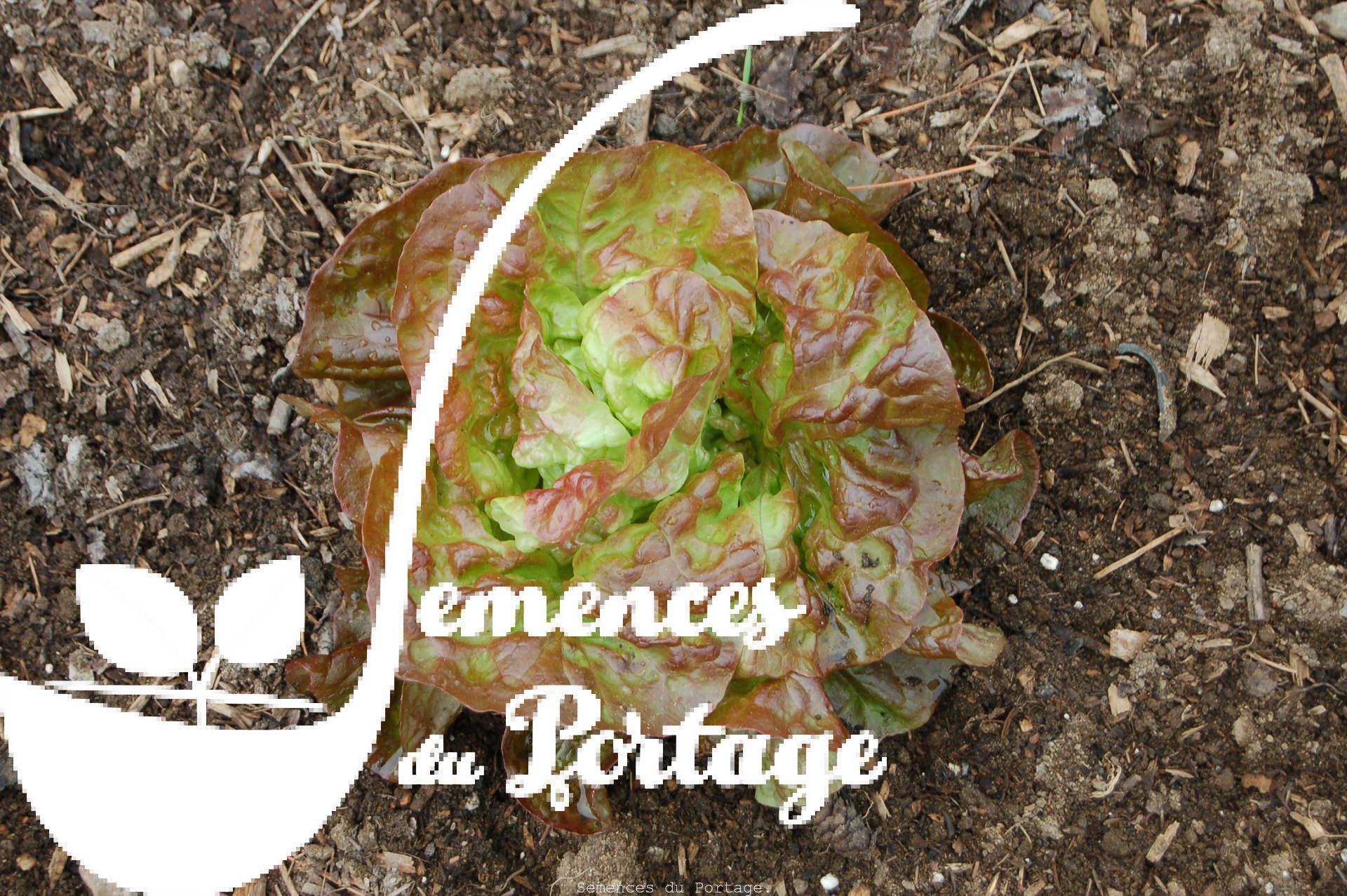 Laitue merveille des quatre saisons semences du portage for Commander des plantes