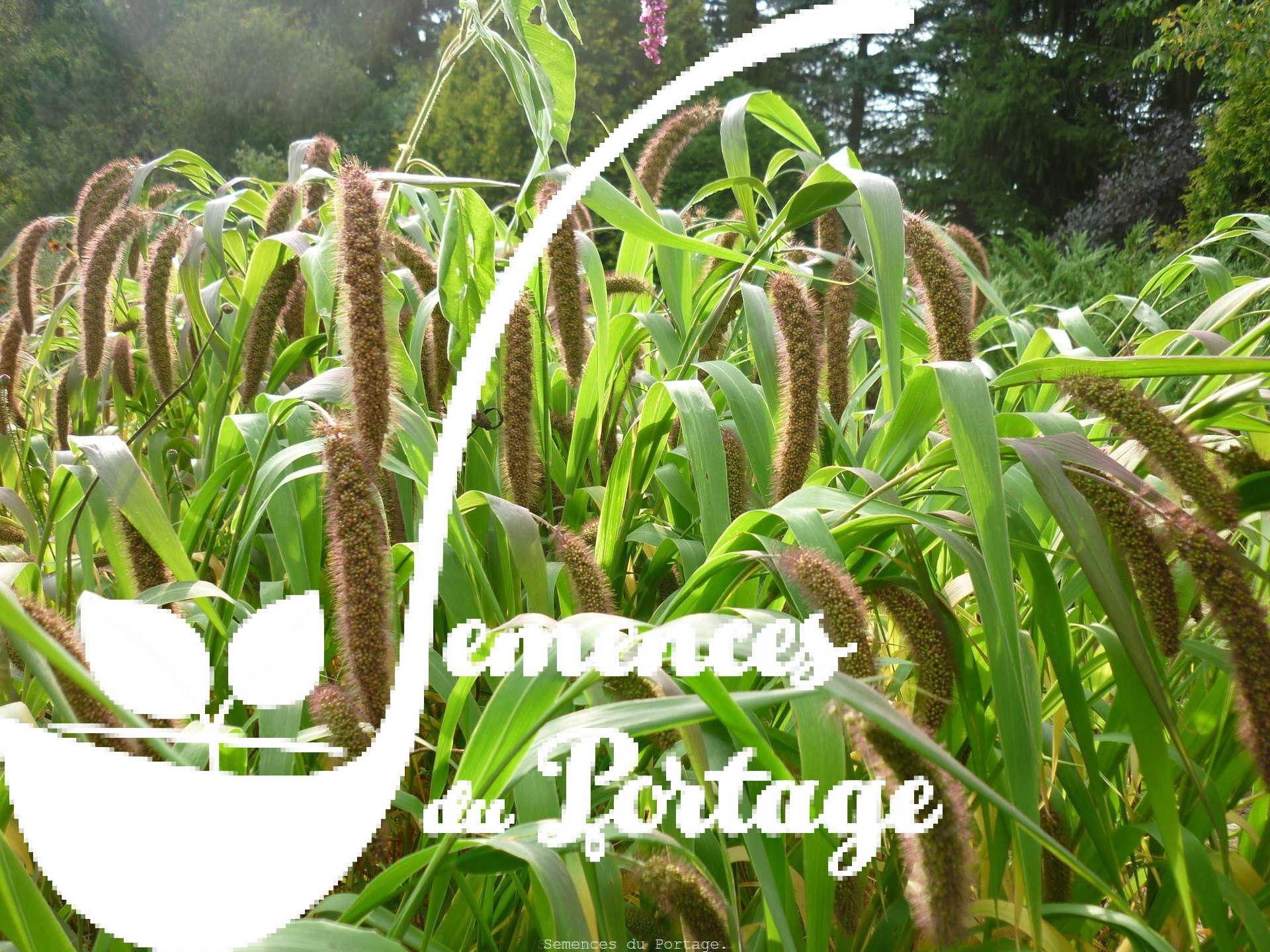 Millet japonais semences du portage for Catalogue de plantes