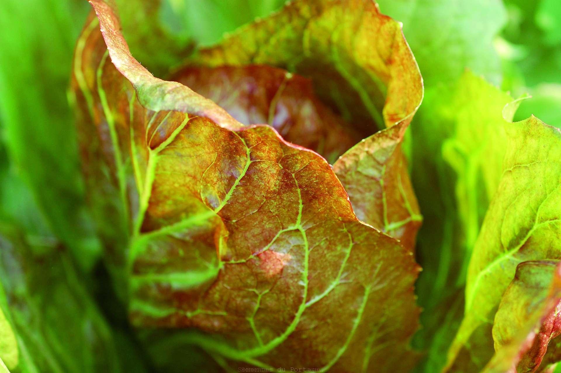 Radicchio palla rossa semences du portage for Commander des plantes