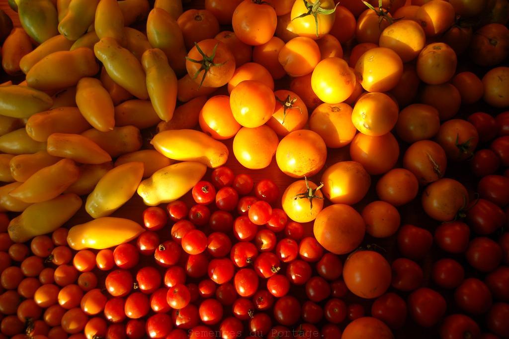 étale tomate