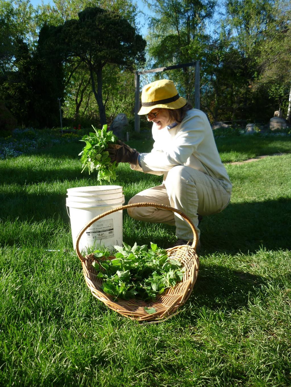 Le purin d 39 ortie semences du portage - Utilisation du purin d ortie ...