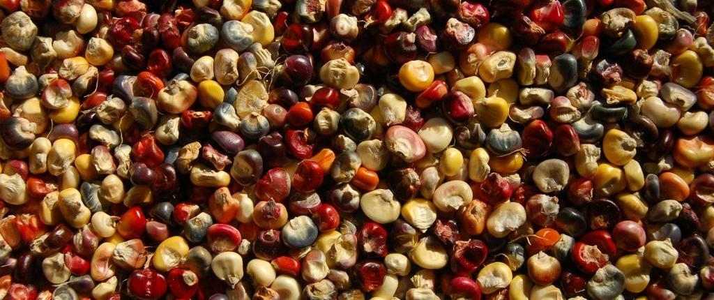 Maïs Hopi Bleu Organique 250 graines-BIO-BIO